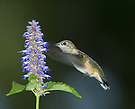 Broad-tailed hummingbird sipping nectar from the hyssop flower