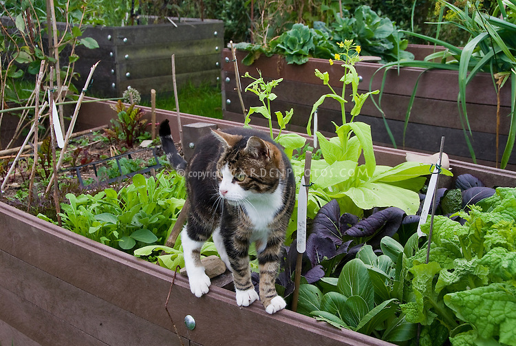 Cat on raised vegetable garden bed, salad greens, mixed crops