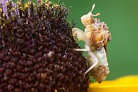 Jagged Ambush Bug; Phymata pennsylvanica; on Black-eyed Susan; Rudbeckia hirta; PA, Philadelphia; Wissahickon Park; Houston Meadow;