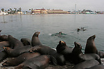 California sea lions at Santa Cruz Muni Wharf
