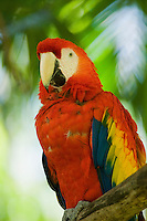 Scarlet macaw, Ara macao. Captive at Zoo Ave, a zoo near San Jose, Costa Rica, specializing in native birds.