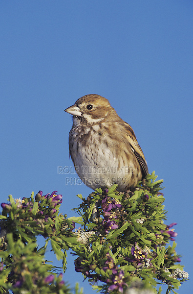 Lark Bunting (Calamospiza melanocorys), male in winter plumage perched on blooming Guayacan (Guaiacum angustifolium), Starr County, Rio Grande Valley, Texas, USA
