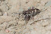 Dünen-Sandlaufkäfer, Dünensandlaufkäfer, Brauner Sandlaufkäfer, Kupferbrauner Sandlaufkäfer, Sand-Laufkäfer, Cicindela hybrida, dune tiger beetle, northern dune tiger beetle