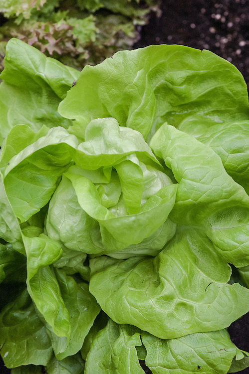 Lettuce 'Analena', a large butterhead variety.