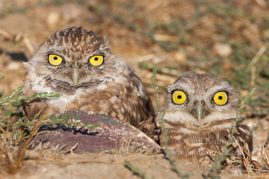 In the fall young Burrowing Owls are difficult to distinguis from adults. At this time they disperse and migrate and often hide in unusual cavities such as pipes (seen here) and even tufts of grass.  (California)
