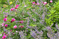 Lathyrus rotundifolius, Nepeta catmint with blue flowers, sweetpeas and flowers use in garden combination of pink and blue color theme