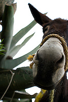A donkey in the field at the Hacienda Xochuca, Pulque route, Tlaxcala, Mexico June 5, 2007