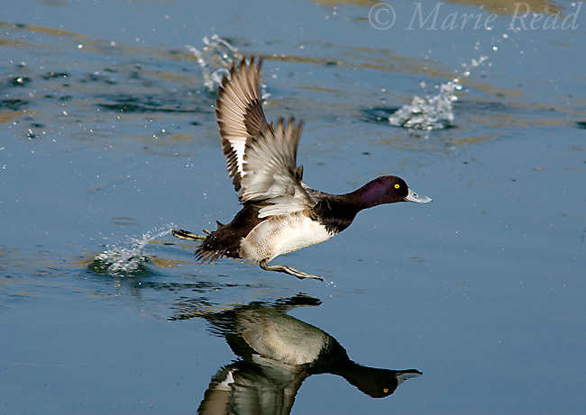 Lesser Scaup (Aythya affinis) male taking flight by running across water, with reflection, California, USA