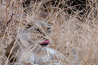 africa, Zambia, South Luangwa National Park,  female lion
