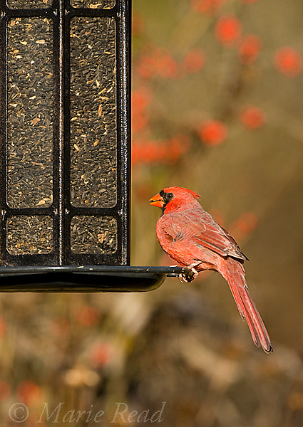 Northern Cardinal (Cardinalis cardinalis) male feeding at backyard sunflower seed feeder, New York, USA