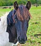 Zachowawcza Hodowla Konia Huculskiego w Wołosatem