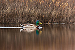 Drake mallard swimming in a northern Wisconsin lake.