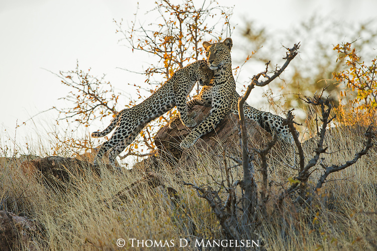 A leopard cub nuzzles up to its mother as she surveys the Samburu plains from a rock.