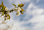 A cherry tree branch covered in white flowers points the way to a blurred background of blue sky and white clouds.