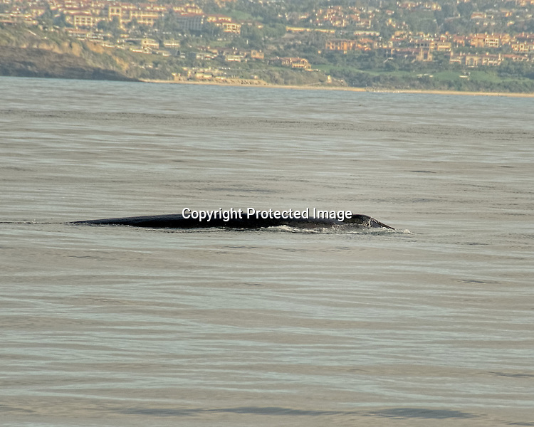 Fin whale off the Orange County California coast