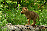 Adorable coyote pup exploring the environment.<br /> <br /> Available sizes:<br /> 18&quot; x 12&quot; print <br /> 18&quot; x 12&quot; canvas gallery wrap <br /> 24&quot; x 16&quot; print<br /> See Pricing page for more information Also available as a mousepad or greeting cards.