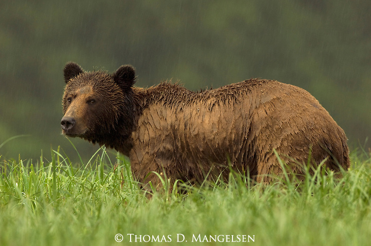 A grizzly bear stands in the rain at Knight Inlet in British Columbia, Canada.