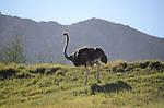ostrich in Palm Desert