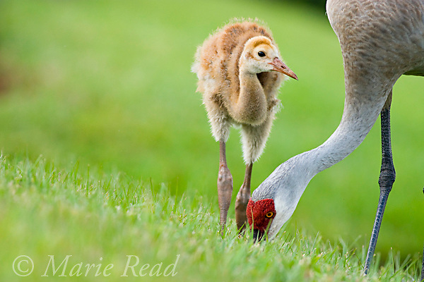 Greater Sandhill Cranes (Grus canadensis) (Florida race), adult and chick foraging, Kissimmee, Florida, USA