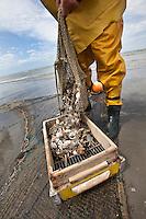 il pescatore di gamberetti Xavier Vanbillemont sulla spiaggia dopo la pesca ai gamberetti seleziona il pescato