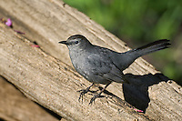 "Gray Catbird (Dumetella carolinensis) likes to stay hidden in deciduous thickets and backyards. Song is a catlike ""mew"".  Carolinian Forest near Point Pelee National Park. Spring. Lake Erie, Ontario. Canada."