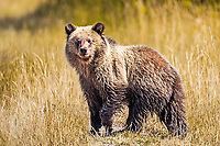 A grizzly cub experiencing his first autumn in Grand Teton National Park. It is amazing how fast that grow.  This is one of Grizzly 399's cubs of the 2017 cub crop.