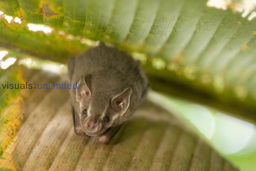 Bat face, Costa Rica