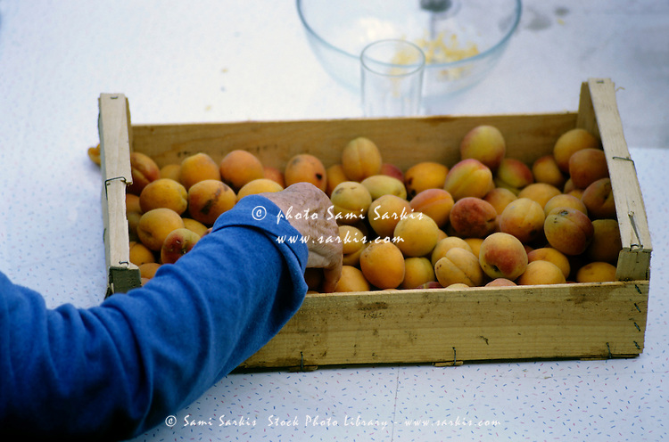 Senior woman picking ripe apricots from a crate, Provence, France.