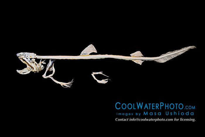 skeleton of whitetip reef shark, Triaenodon obesus, made of cartilage - strong, lightweight gristle, not bone, Hawaii