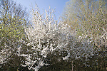 White blossom of Prunus spinosa, blackthorn or sloe bushes, Suffolk, England