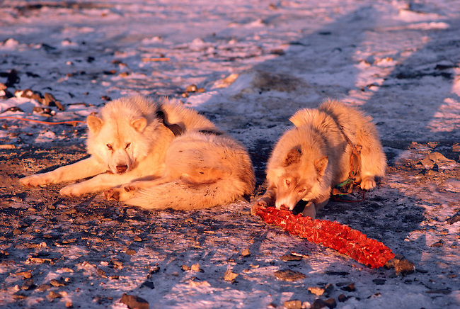 Huskies chew on a whale spine on the shore. Northwest Greenland
