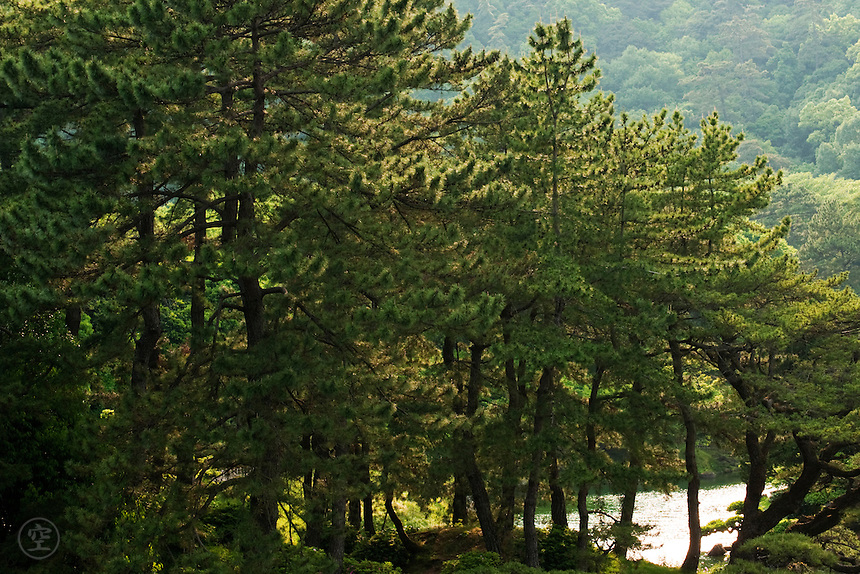A natural-looking stand of pines backlit by the sun at Ritsurin Koen, Takamatsu, Japan.