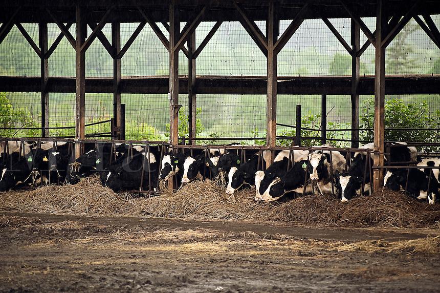 Cows feeding on hay.