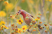 House Finch (Haemorhous mexicanus frontalis), Common Group, male foraging on a flower at the Desert Botanical Garden in Phoenix, Arizona.