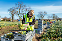 Migrant labour harvesting daffodils - Lincolnshire, February