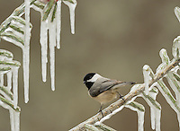 Carolina Chickadee (Poecile carolinensis), adult perched on icy branch of Christmas cholla (Cylindropuntia leptocaulis), Hill Country, Texas, USA