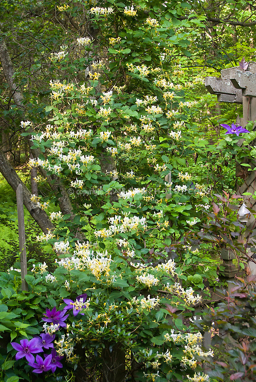 Honeysuckle Lonicera Scentsation in fragrant yellow and white flowers, with climbing vine Clematis, two kinds of climbers perennial planted together, trellis
