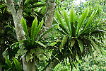 Bird's Nest Fern (Asplenium nidus) pair in tree, Tawau Hills Park, Sabah, Borneo, Malaysia