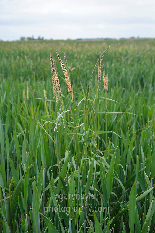 Black grass infestation in wheat - Lincolnshire, May
