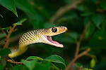Indo-Chinese Rat Snake-Ptyas korros