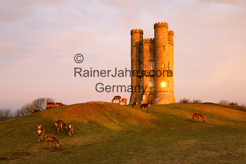 United Kingdom, England, Worcestershire, Broadway: Broadway Tower with Deer at sunrise   Grossbritannien, England, Worcestershire, Broadway: Hirsche am Broadway Tower bei Sonnenuntergang