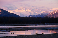 Bald Eagles gather along the Chilkat River Eagle Preserve near Haines, Alaska.  November.