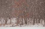 Snowstorm in woods