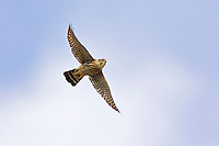 Female Merlin (Falco columbarius) on fall migration.  Southwestern U.S.