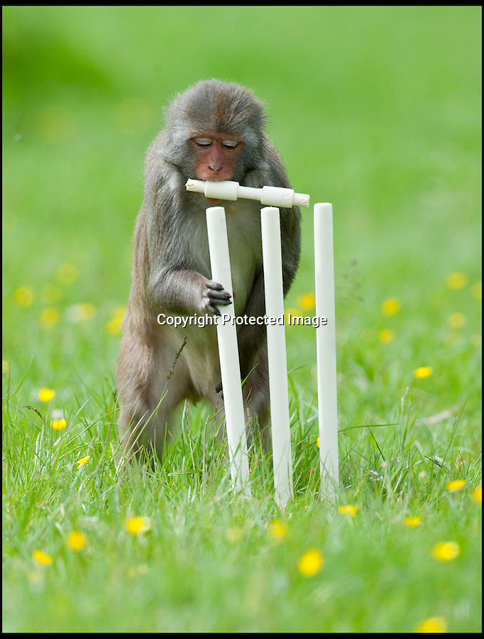BNPS.co.uk (01202 558833)<br /> Pic: IanTurner/BNPS<br /> <br /> The stumps and bails are carefully arranged...<br /> <br /> Lets hope the umpiring of this summers Ashes is a little better than was displayed by the infamous Longleat monkeys yesterday as they prepared for the upcoming battle with a little bit of Ape Ashes.<br /> <br /> Despite managing to set up the stumps the perplexed primates were soon clean bowled - but at least it gave visitors to the Wiltshire attraction some respite from the usual mayhem the parks Rhesus Macaques dish out to their cars.