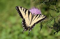 Eastern Tiger Swallowtail; Papilio glaucus; nectaring on thistle; PA, Philadelphia, Schuylkill Center