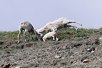 A Dall sheep female attacks another sheep after it got too close to her lamb.