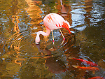 Flamingo and koi fish in Palm Desert