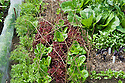 Carrots, lettuces 'Little Gem'  and 'Lollo Rossa', radishes, and Chinese leaves, mid June. Hazel twigs help deter birds and   enviromesh protects against carrot fly.