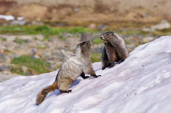 Hoary Marmots (Marmota caligata) in alpine area of Cascade Mountains, Pacific Northwest.  Summer.